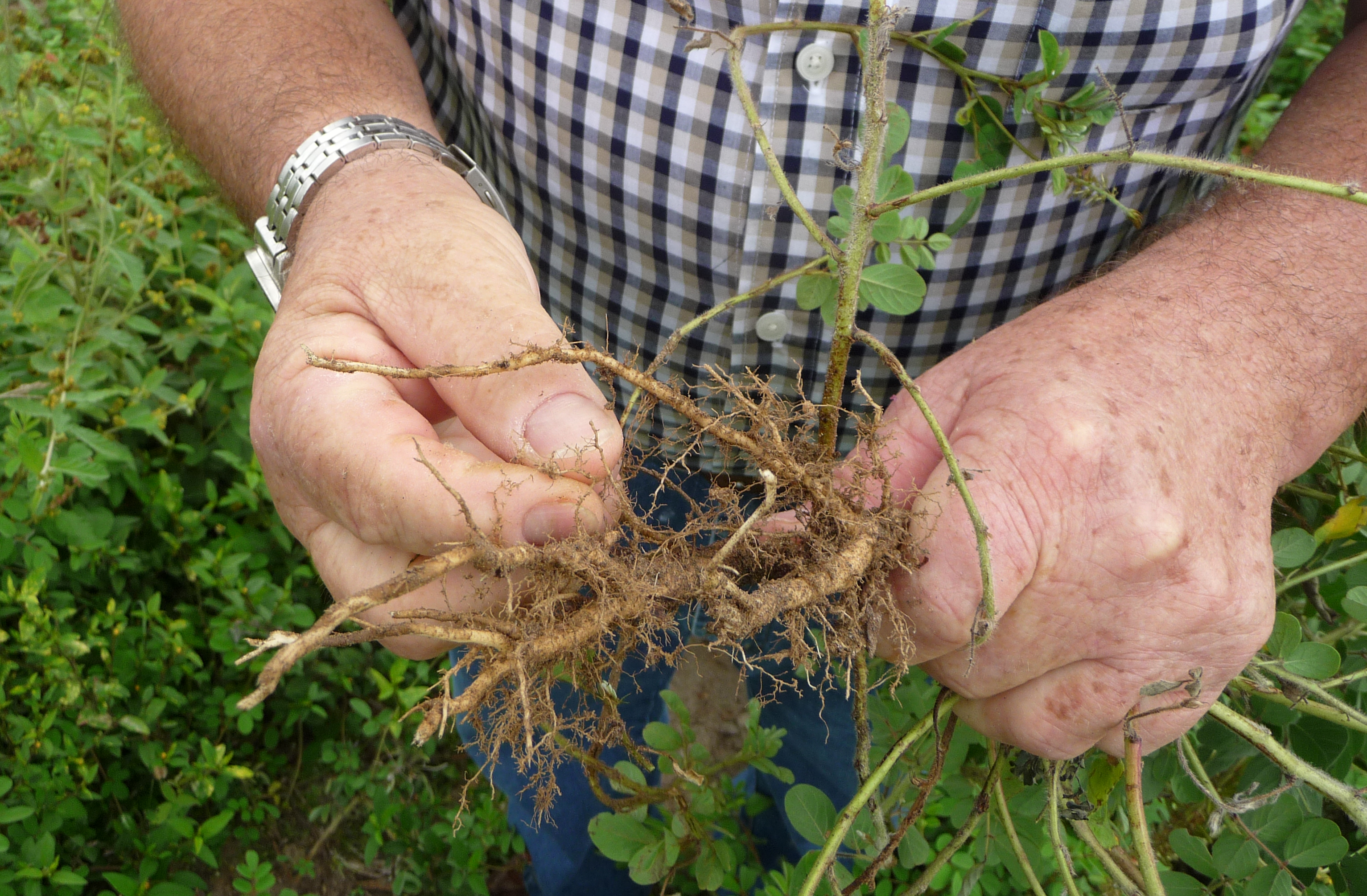Miguel Brigard shows nodules oft leguminous roots which lead to nitrogen enrichment of the soil, Espinal, Colombia 2014