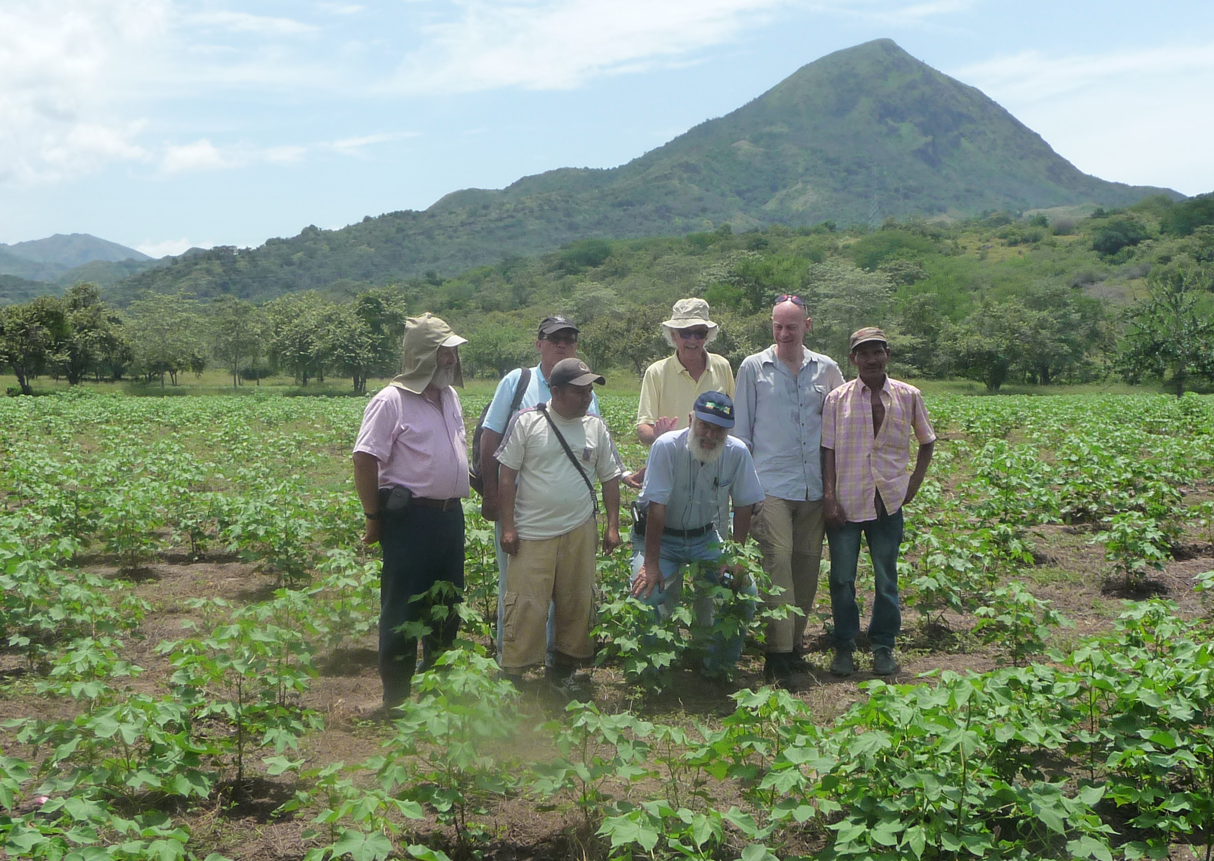 Organic cotton field 2½ month after seeding, Natagaima, Tolima, Colombia 2015
